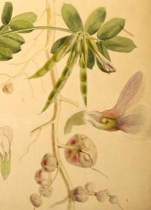 Vicia faba nodules by Henriette Beijerinck
