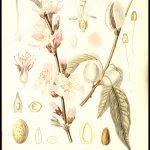 Almonds by ? Bongers, 1923