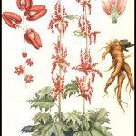 Ornamental rhubarb by Karin Mauve, 1920s