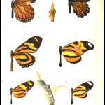 Butterfly mimicry by J. Mouton, 1920s?