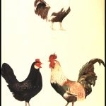 Cross of  Italian and Plymouth Rock  chickens